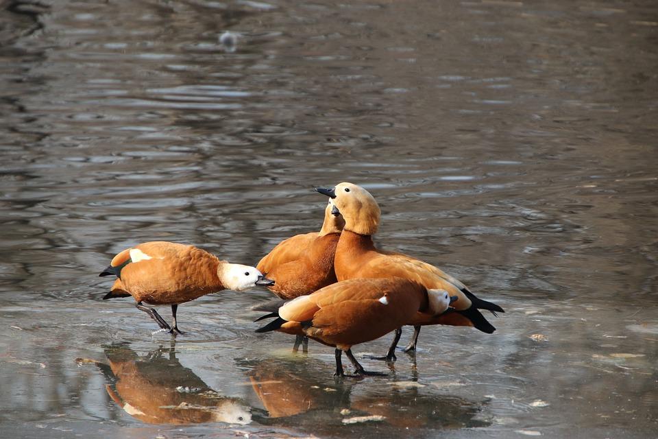 Ducks, Birds, Ruddy Shelducks, Pond, Feathers, Plumage