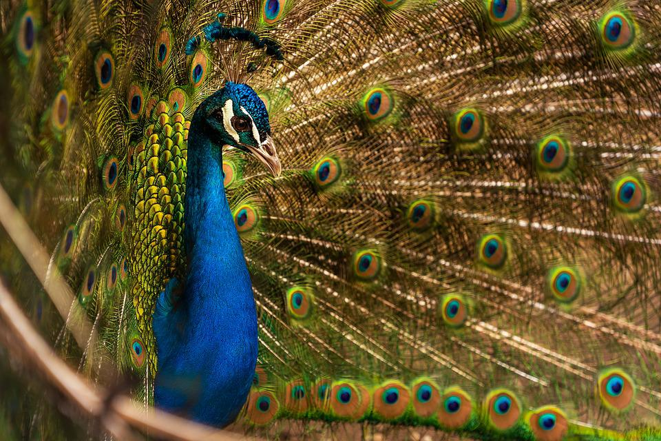 Animal, Bird, Peacock, Blue Peacock, Plumage, Bill