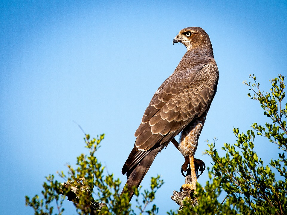 Falcon, Bird, Raptor, Beak, Feathers, Plumage, Branche