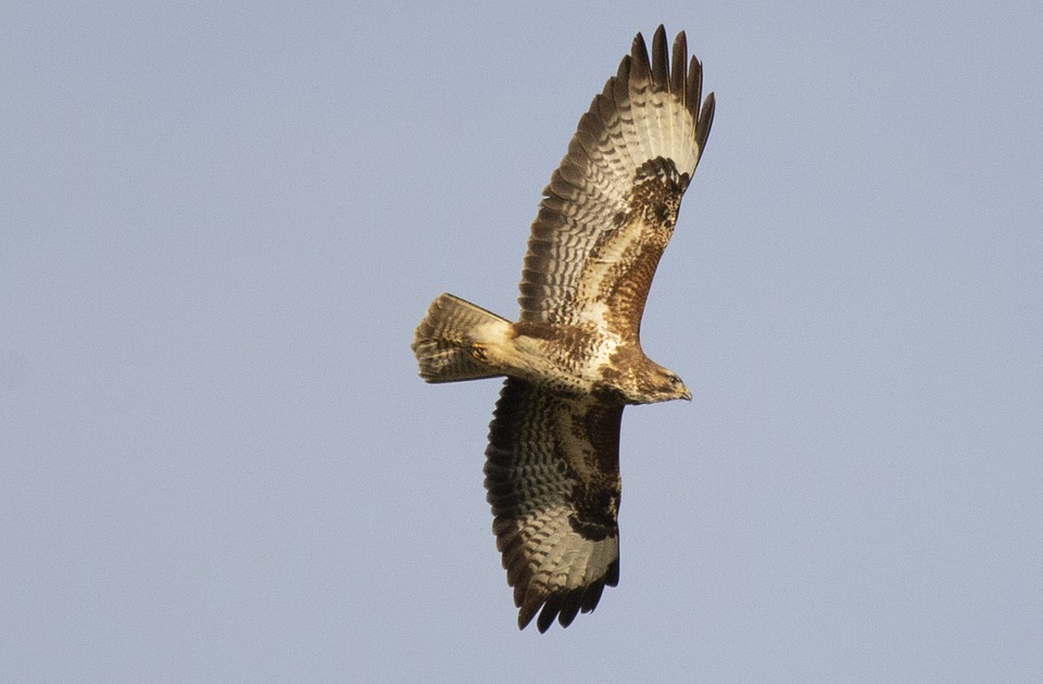 Predator, Raptor, Feather, Plumage, Buzzard, Flying