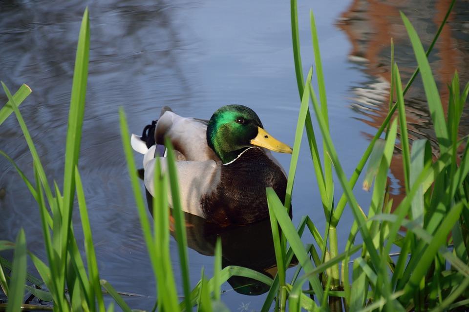 Drake, Duck, Mallard, Nature, Bird, Animals, Plumage