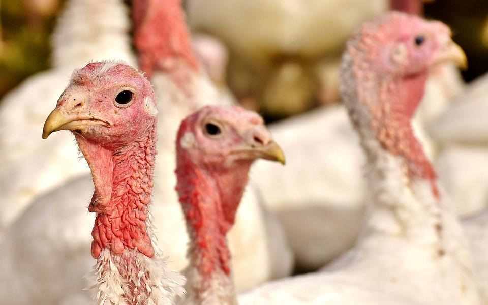 Turkeys, Birds, Poultry, Feather, Bird, Plumage