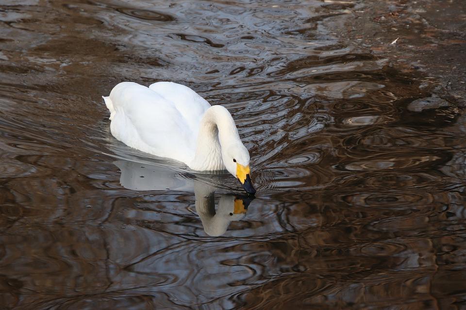 Bird, Swan, Feathers, Plumage, Waterfowl, Water Bird