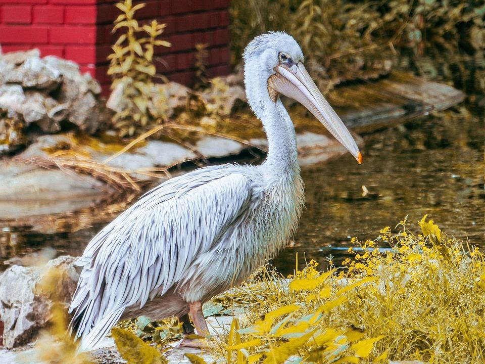 Bird, Pelican, Beak, Feathers, Plumage, Lake, Water