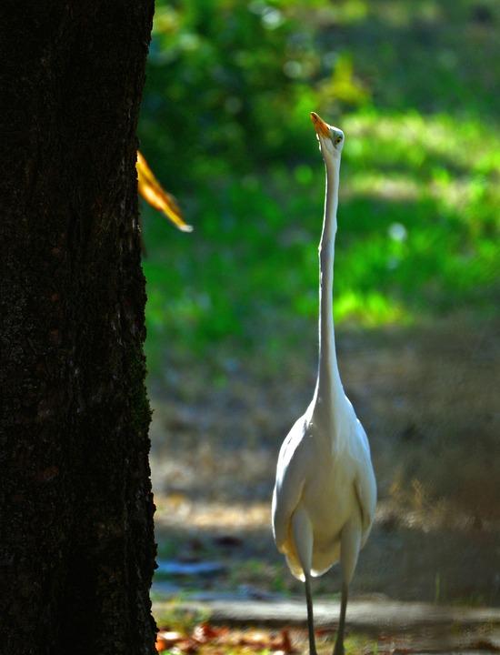White Crane, Crane, Bird, Animal, Plumage, Feathers
