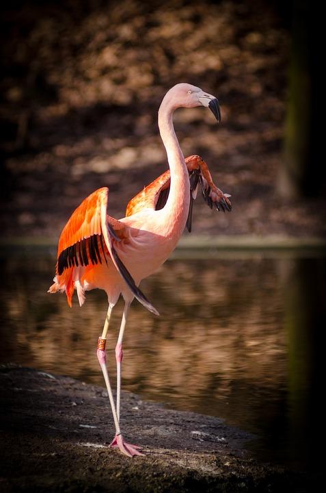 Animal, Flamingo, Bird, Feathers, Outdoors, Plumage