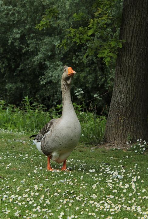 Goose, Bird, Waterfowl, Plumage, Migratory Birds