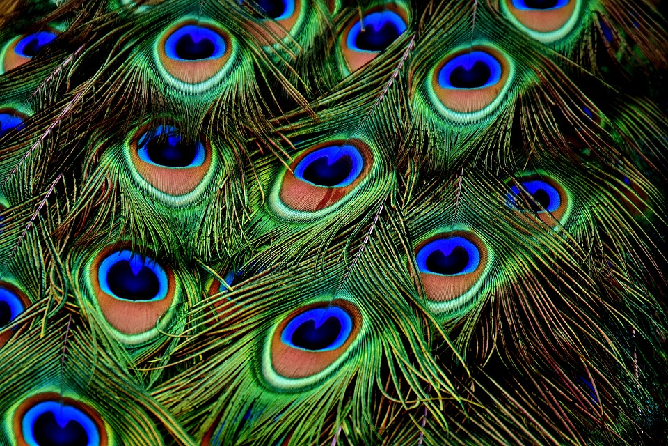 Peacock Feathers, Plumage, Iridescent, Animal, Peacock