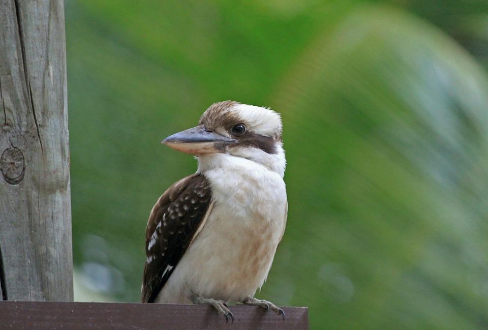 Bird, Kookburra, Australia, Lachender Hans, Plumage
