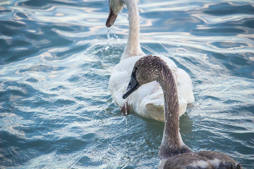 Cygnet, Birds, Animal, Lake, Swan, Plumage, Feathers