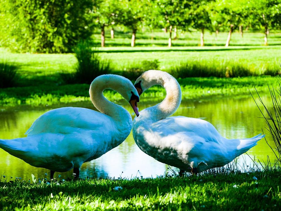 Swans, Lake, Pond, Water, Nature, White, Plumage