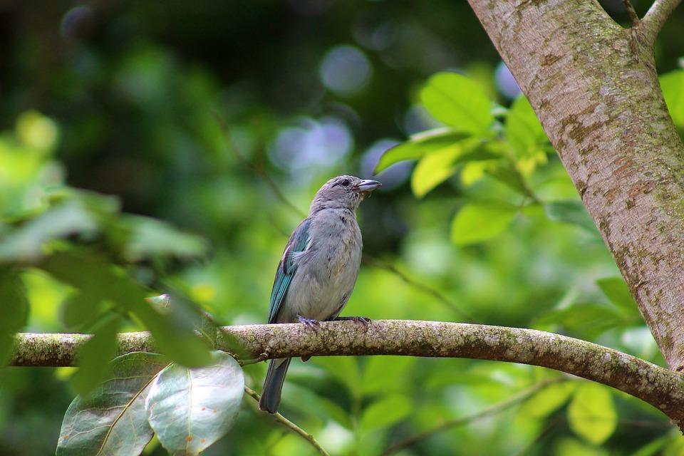 Sanhaçu-gray, Bird, Animal, Nature, Plumage, Beak