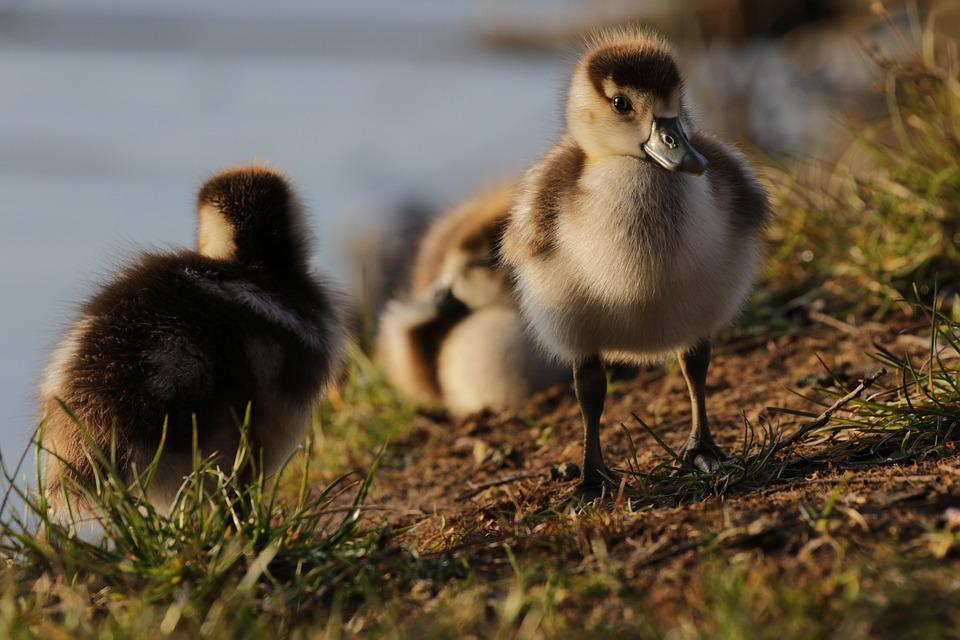 Nilgans, Duck, Goose, Chicks, Nature, Plumage