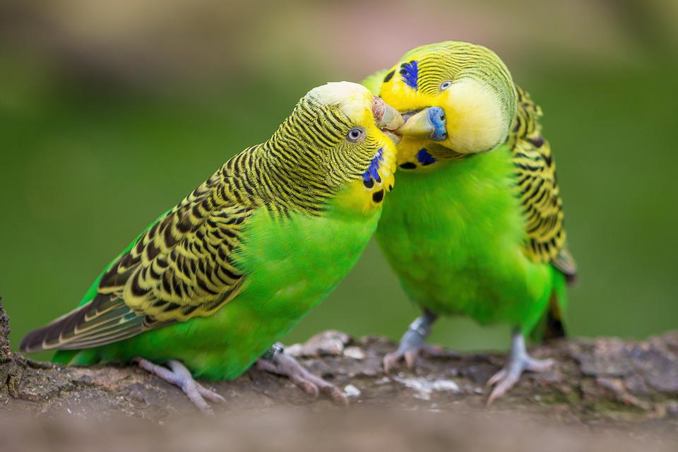 Budgie, Pair, Birds, Budgerigars, Plumage, Affection