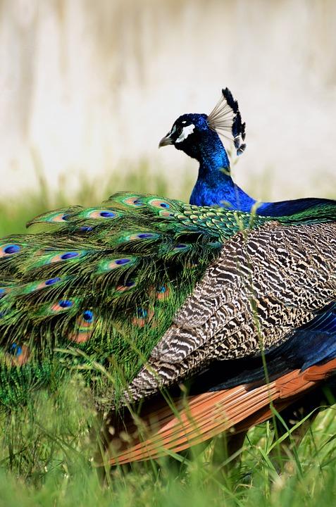 Peacock, Bird, Plumage, Peafowl, Blue Peafowl, Animal