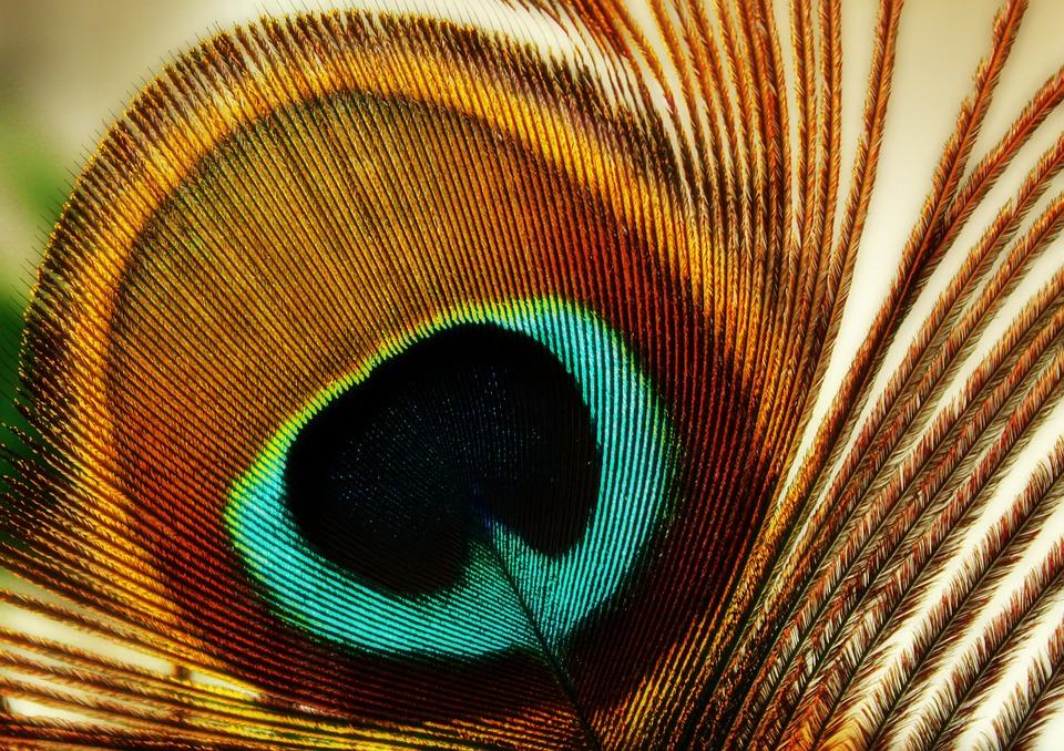 Feather, Peacock Feather, Peacock, Bird, Plumage