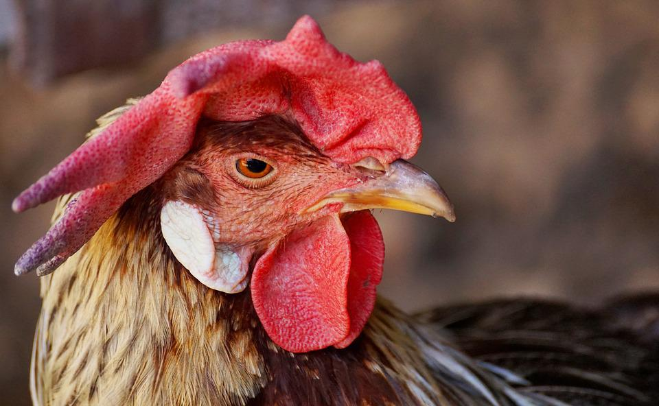 Hahn, Bird, Pride, Cockscomb, Plumage, Poultry, Animal