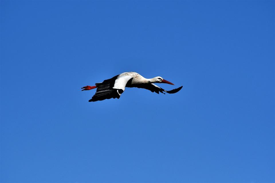 Stork, Flying, Bird, Nature, Rattle Stork, Plumage
