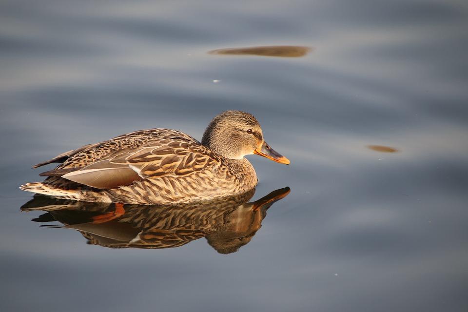 Duck, Bird, Mallard, Waterfowl, Feathers, Plumage, Swim