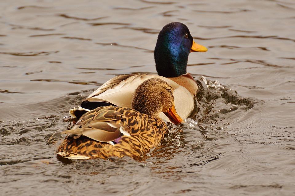 Ducks, Smooch, Water Bird, Poultry, Plumage, Water