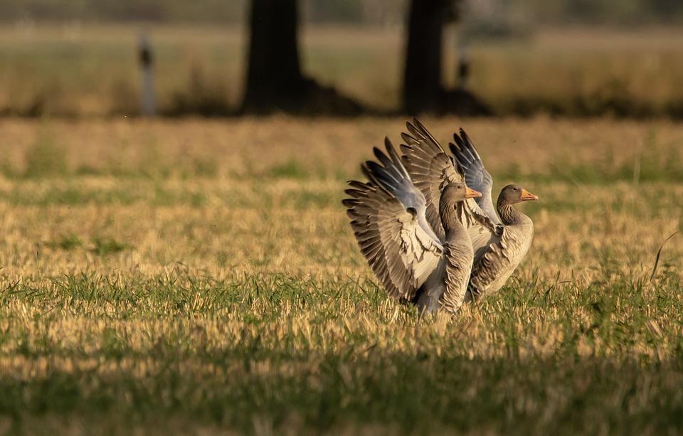 Geese, Field, Wild Geese, Feathers, Wings, Plumage