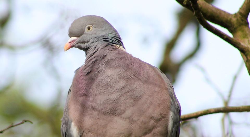Bird, Wood Pigeon, Feather, Beak, Plumage, Wing, Nature