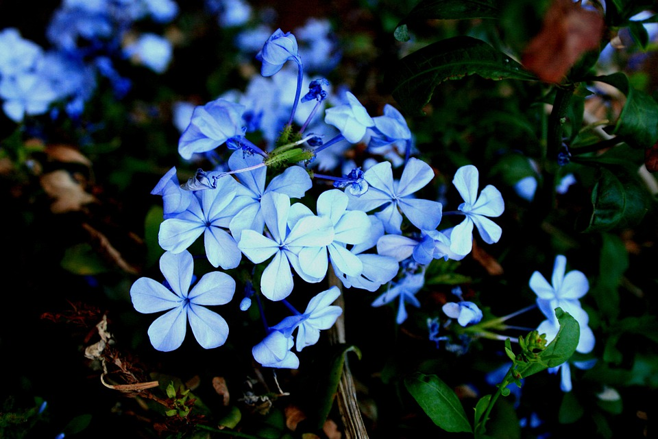 Flowers, Bluebush, Plumbago, Small, Clumped, Dainty