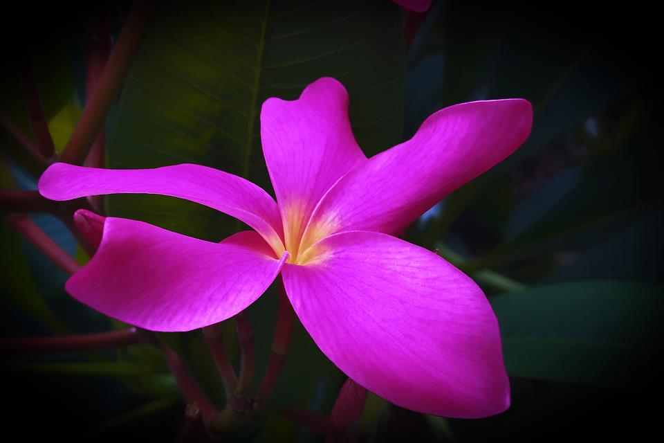 Frangipani, Plumeria, Flower, Flowers, Flowering, Bloom