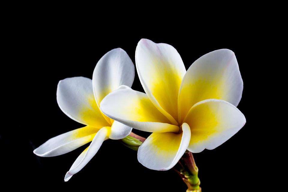 Blossom, Bloom, Flower, Frangipani, Plumeria, White