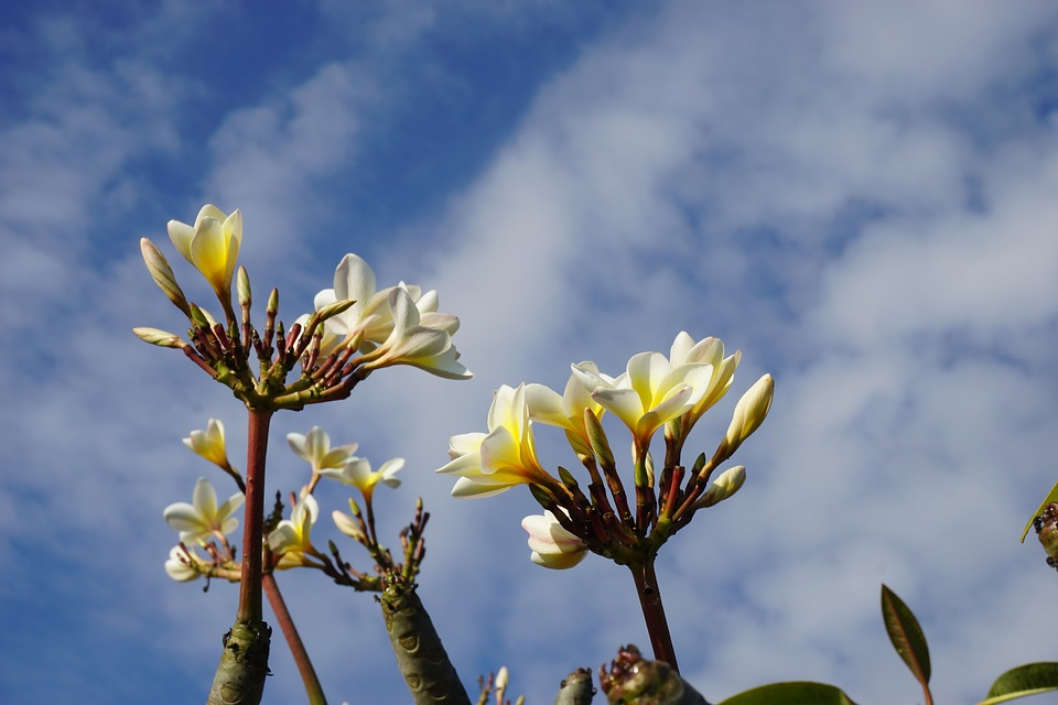 Plumeria, White, Bali, Blue Sky