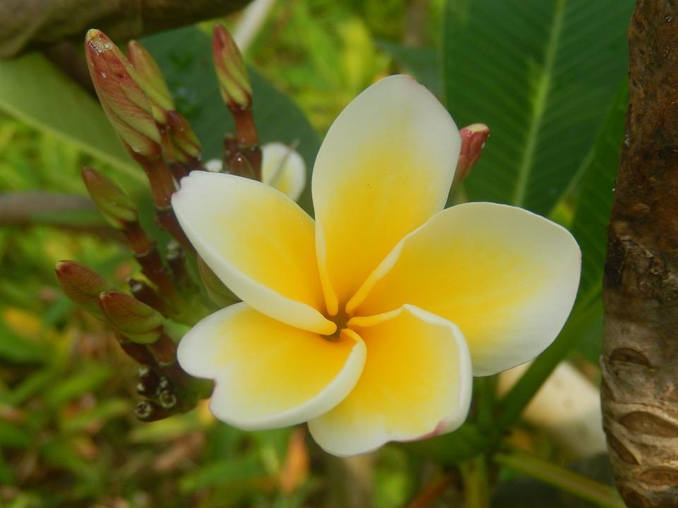 Flower, Plumeria, Plant