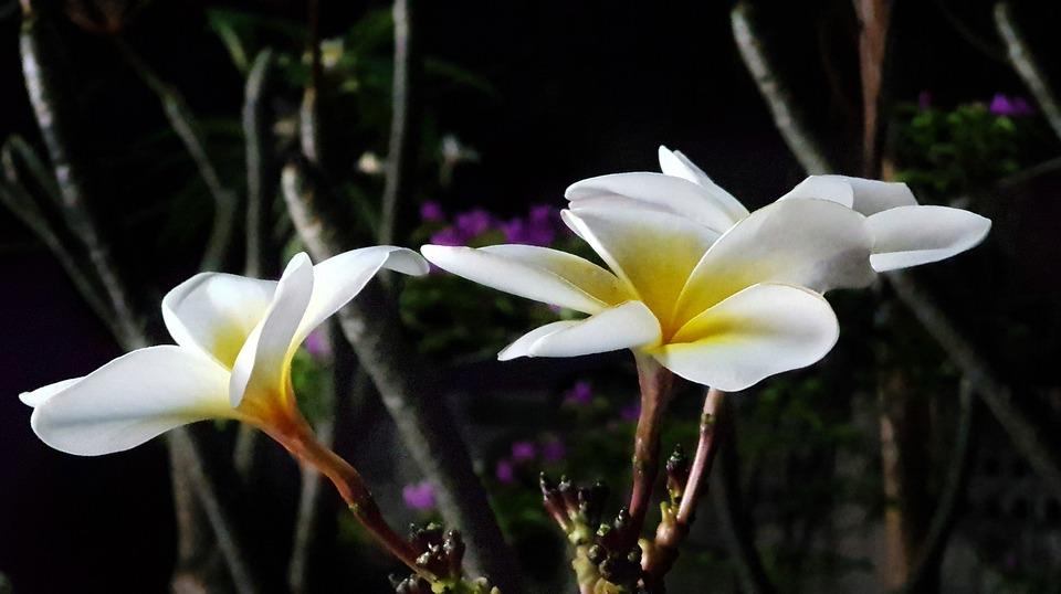 Plumeria, Plant, Tree, White, Flower, Nature, Flora