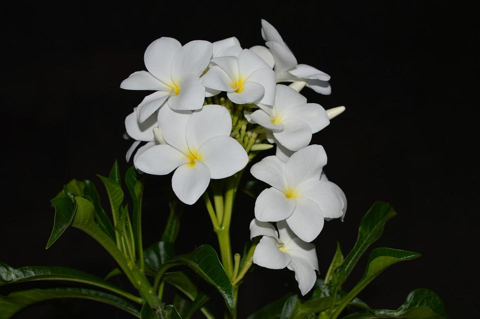 Plumeria, White Flower, Yellow Center, Nature, Green