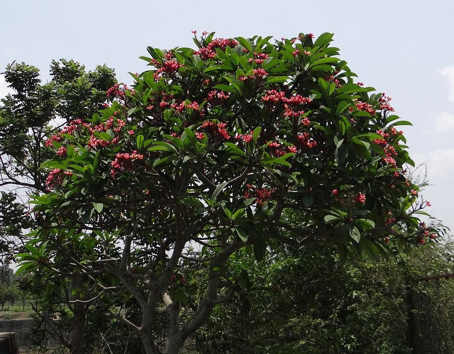 Plumeria Rubra, Frangipani, Red Frangipani, Temple Tree