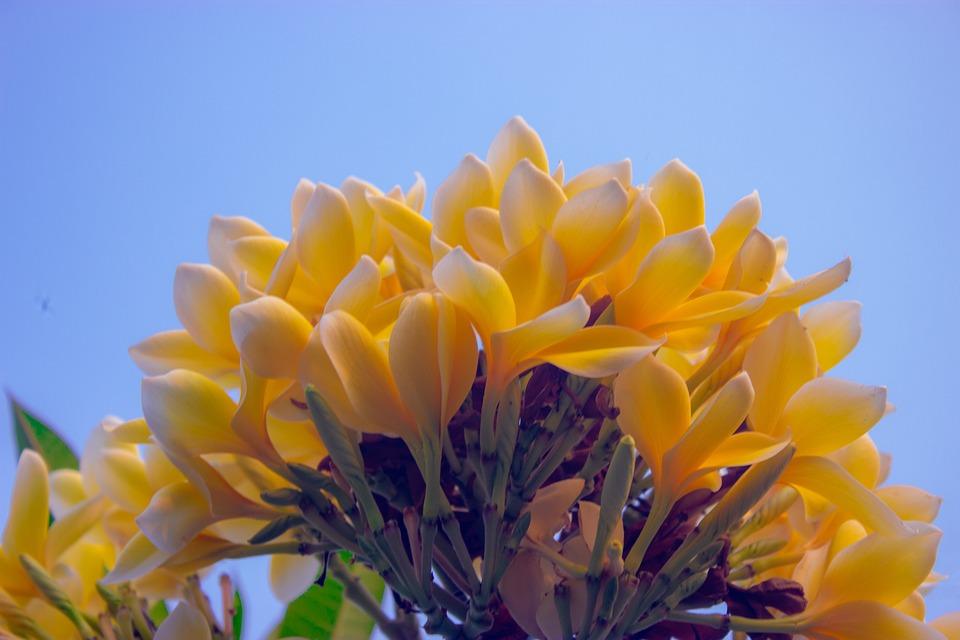 Plumeria, Flowers, Yellow Flowers, Petals
