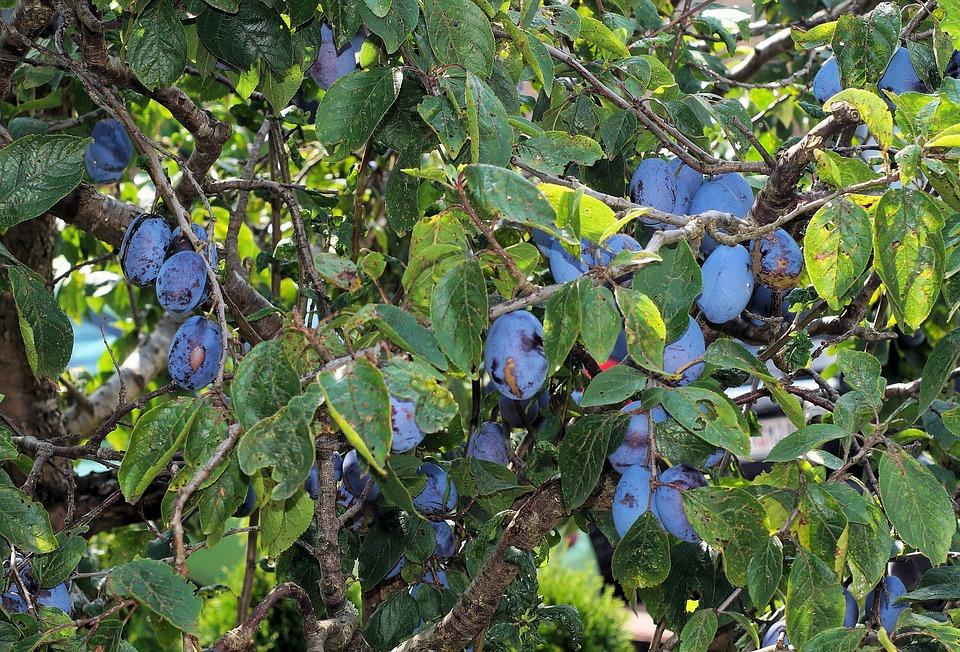 Plums, Plum Tree, Fruit Tree, Delicious, Close, Garden