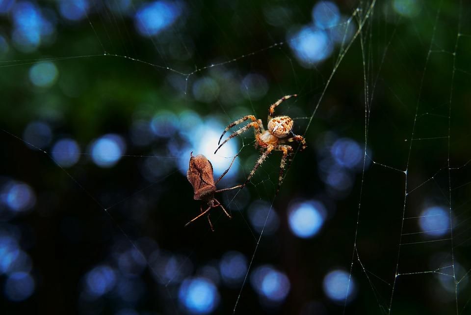 Crusader Garden, Spider, Connector Straszyk, Pluskwiak