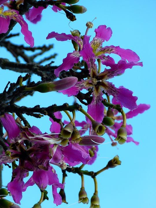 Free photo Pochote Bloom Kapok Tree Blossom Ceiba Pentandra