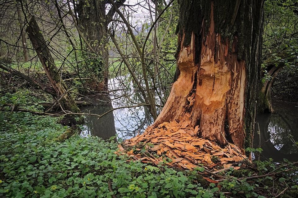Beavers, Podgryzanie, Tree, Shift, Biting, Rodents
