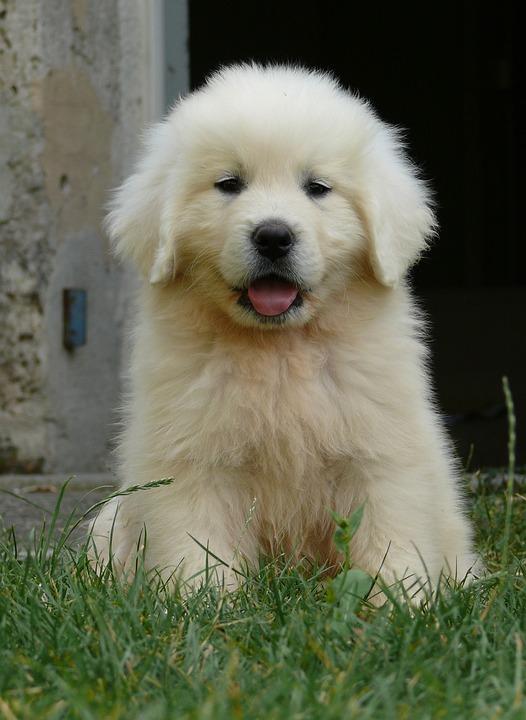 Puppy, Podhale, White Dog, Berger, Animals, Portrait