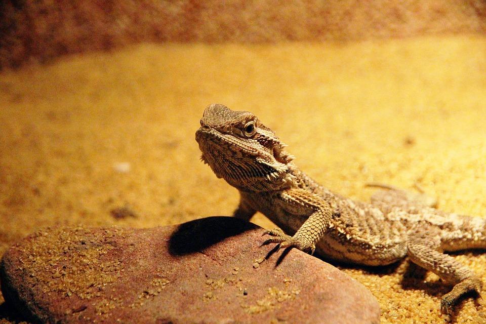Central Bearded Dragon, Lizard, Pogona Vitticeps