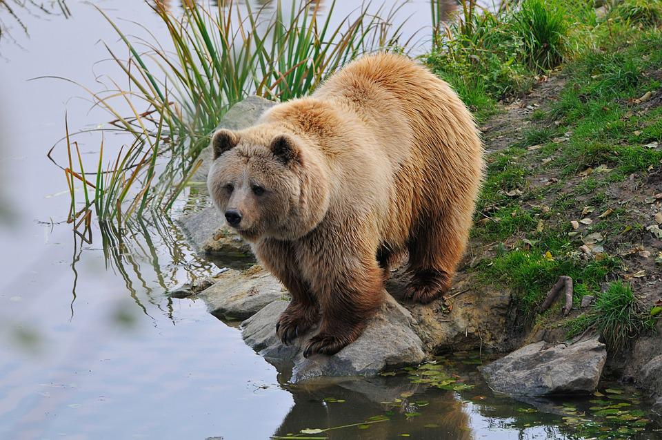 Wildlife Park, Poing, Bear