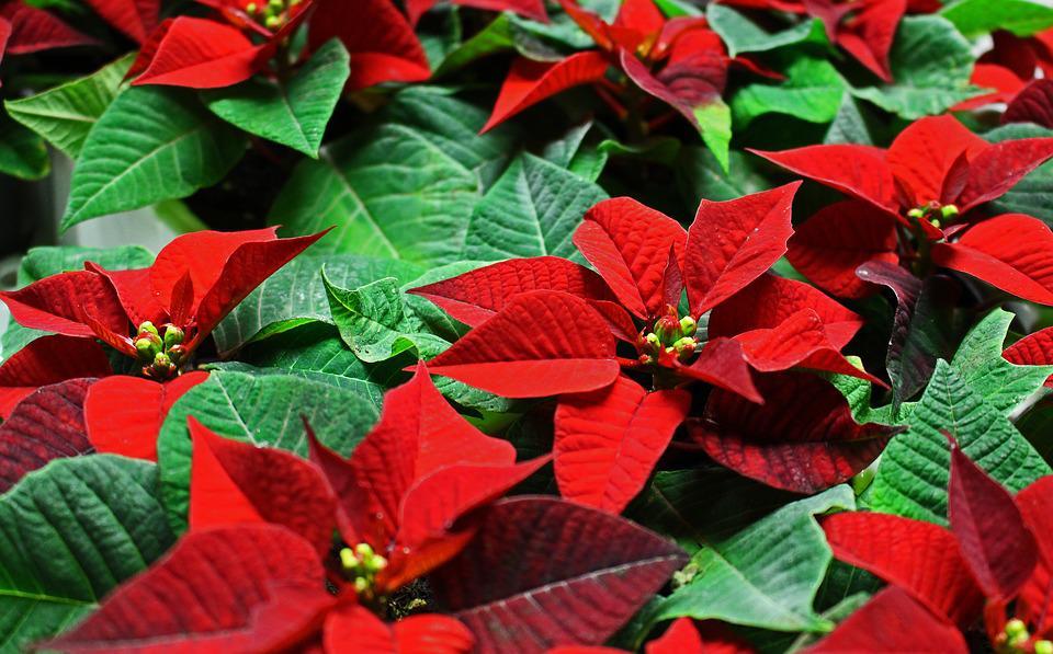 Poinsettia, Plant, Christmas, Flower, Red