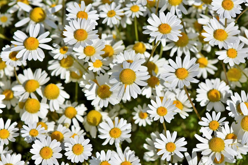 Daisies, Marguerite Meadow, Pointed Flower, White