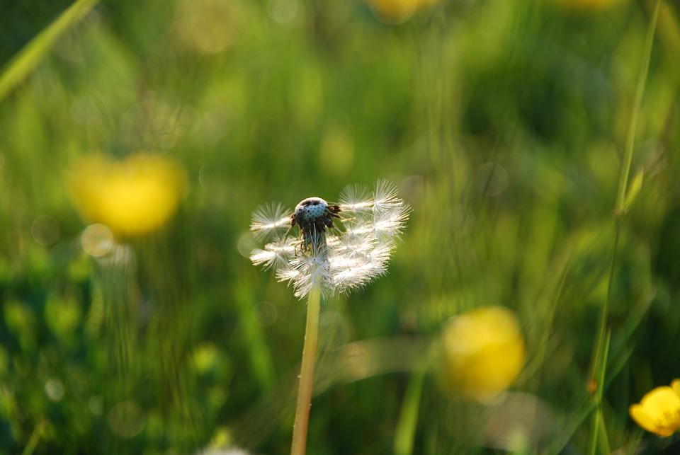 Dandelion, Pointed Flower, Grass