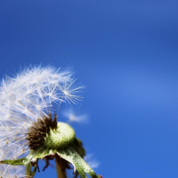 Dandelion, Pointed Flower, Flower, Seeds, Plant, Nature