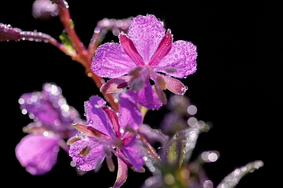 Epilobium, Evening Primrose Greenhouse, Pointed Flower
