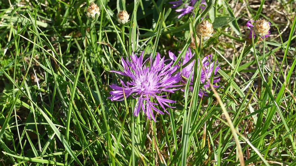 Wild Flower, Pointed Flower, Natural Plant, Blossom