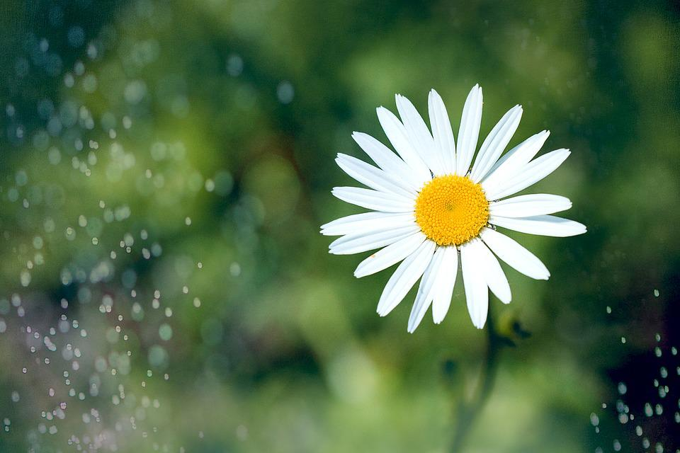Marguerite, Flower, Pointed Flower, White, White Flower