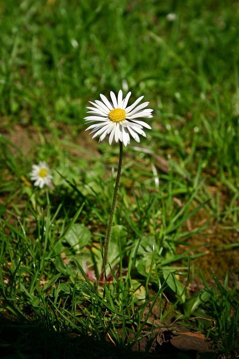 Daisy, Flower, Pointed Flower, Wild Flower, Spring